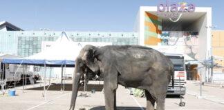 """Ante las protestas de los ciudadanos, enseñan a la elefanta Dumba a decir """"co, estoy bien"""""""