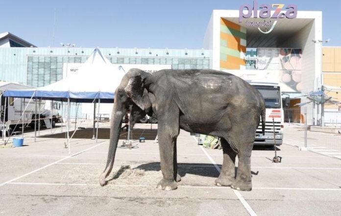 Ante las protestas de los ciudadanos, enseñan a la elefanta Dumba a decir
